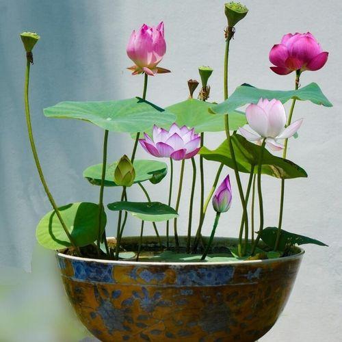 PREMIUM  BONSAI LOTUS FLOWER SEEDS